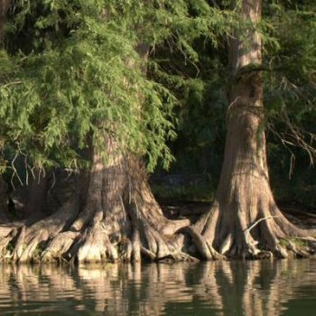 Bald Cypress, Philip Hawkins